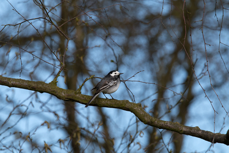 Wagtail laterally on a branch