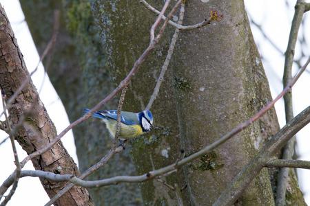 Bluetit laterally on a twig  Stok Fotoğraf