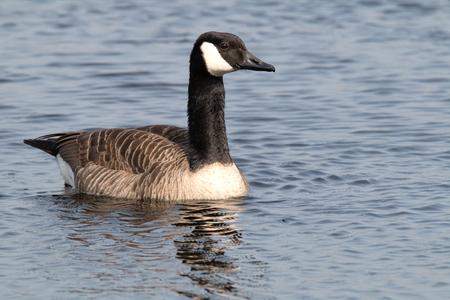 Canada goose swims sideways on water Stok Fotoğraf