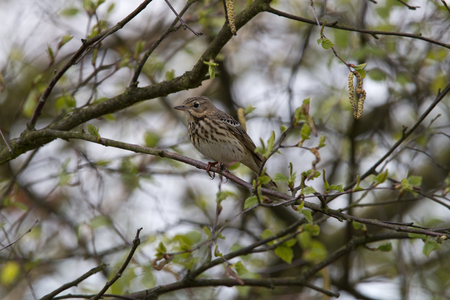 Tree pipit laterally on a branch Imagens