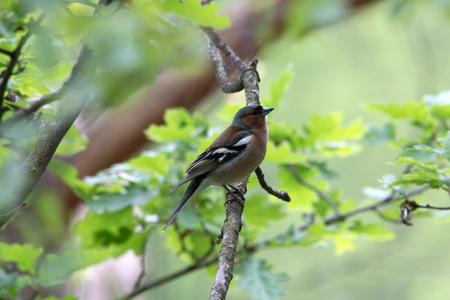 Chaffinch on a branch in the fischbeker heath
