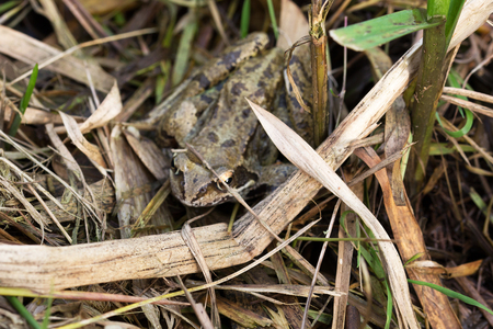 European frog sits in the foliage, close up Stock Photo