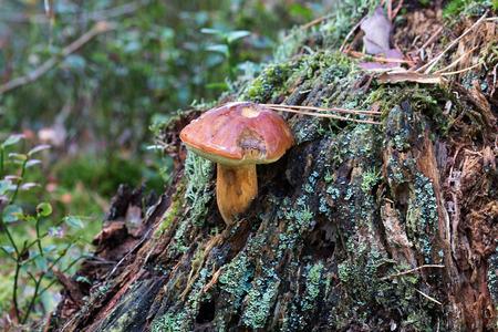 Small bay bolete grows from tree stump