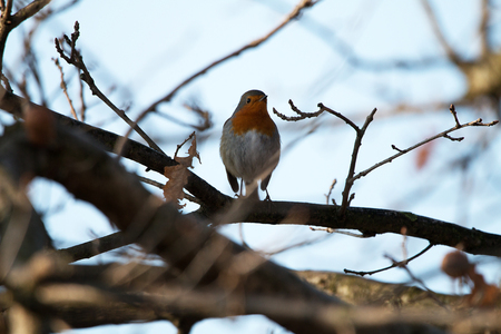 Robins on a branch, in the nature reserve