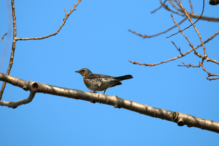 Song thrush from the side, on a branch