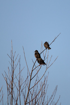 Starling on a branch, sky cloudless