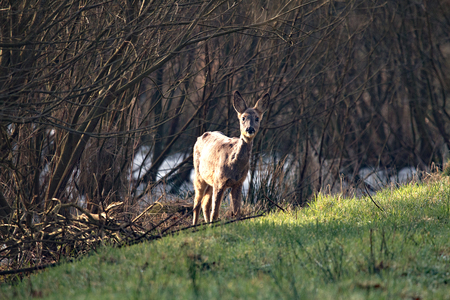 Roe deer side illuminated by the sun, in the Moore nature reserve near Buxtehude 写真素材