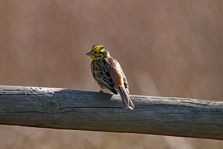 Yellowhammer from behind on a wooden lath