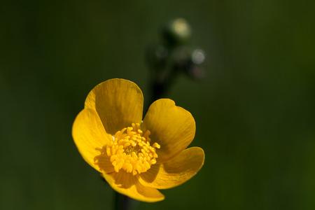 buttercup blossom, macro Stock Photo