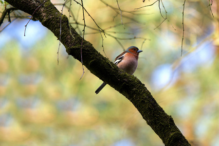 Chaffinch from the side on a branch Stok Fotoğraf
