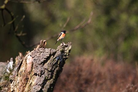Stonechat on tree stump in the Wulmstorfer heathland Reklamní fotografie