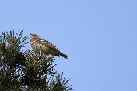 Tree pipit on a branch, close-up