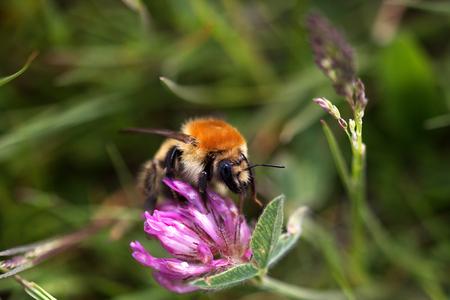 Field bumblebee on a flower, macro Stok Fotoğraf