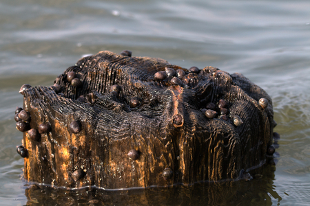 Snails on a wooden stake in the North Sea