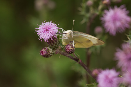 Great cabbage white on a creeping thistle Stock Photo