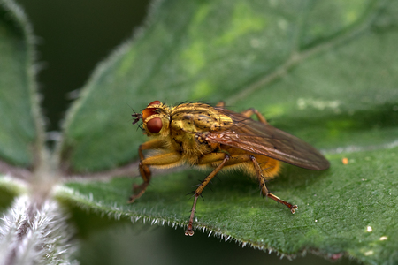 Golden dung fly on a leaf, macro