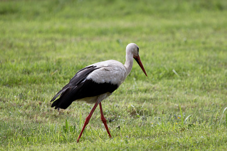 White stork laterally in the nature reserve Moore near Buxtehude