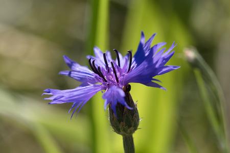 Cornflower sideways, close-up Imagens