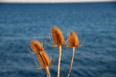 Faded teasel in the background the Baltic Sea Stock Photo