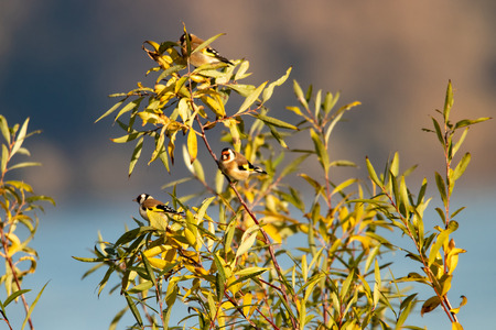Several goldfinches on branches