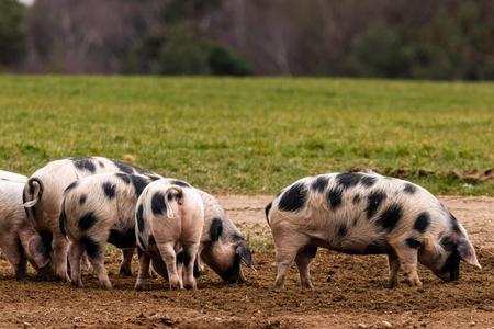 Bentheimer land pigs foraging Banco de Imagens