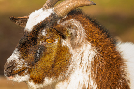 Young domestic goat in profile