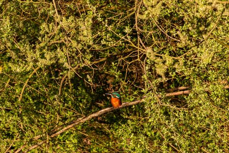 Kingfisher on a branch head sideways