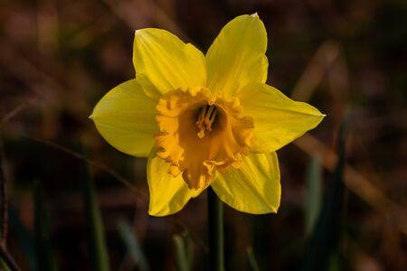 Yellow eastern bell macro Stok Fotoğraf