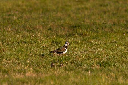 Lapwing on a meadow sideways