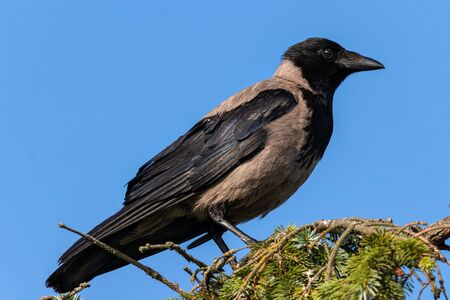 Carrion crow sideways on a background blue sky