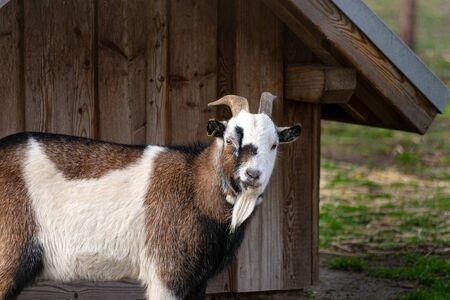 Domestic goat stands in front of hut looking towards camera