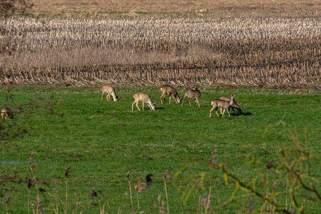 Several deer in a meadow Banco de Imagens