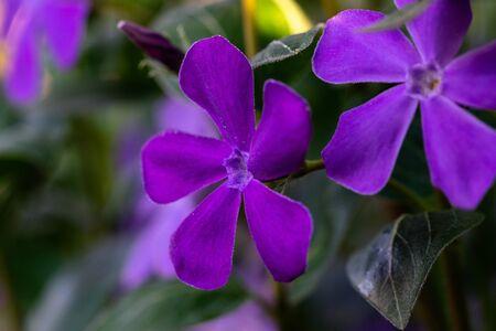 Large periwinkle flower blurred background, macro