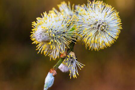 Blossom kitten willow, blurred macro background