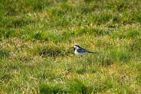 Wagtail in a meadow Banco de Imagens