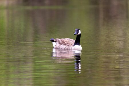 Canada goose swims in the lake, with reflection