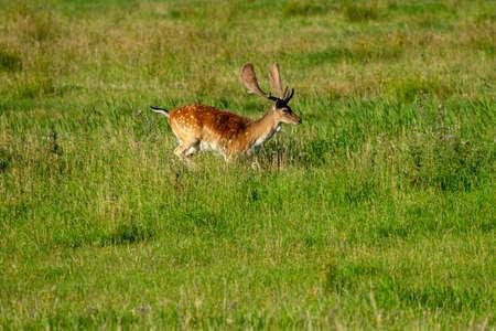 Young deer in a meadow