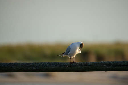 Black-headed gull on a wooden slat blurred background