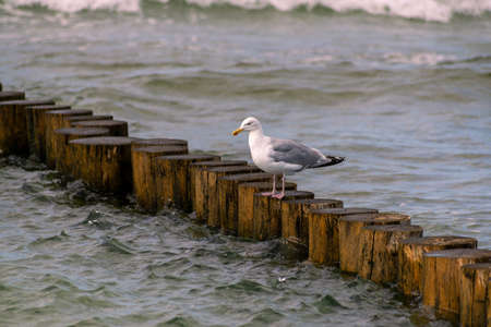 Seagull on groyne in Baltic Sea