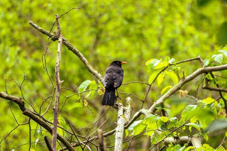 Blackbird from behind on branch