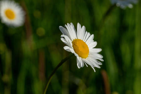 Marguerite blossom blurred background Banco de Imagens