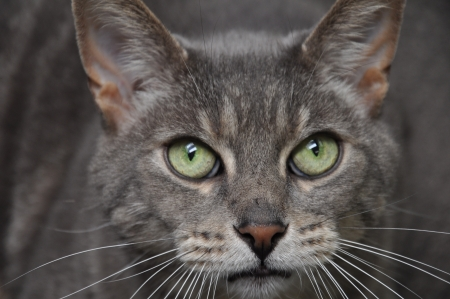 Gray Cat Face
