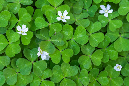 shamrocks: Close up of field of shamrocks in the forest