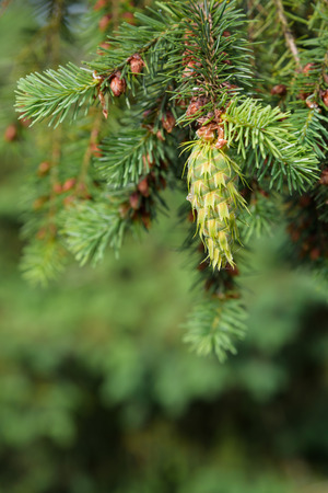 evergreen tree: Close-up of fresh growth on an evergreen tree
