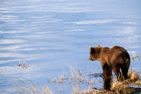 Young Alaska brown bear looking into water at brooks river lagoon Stock Photo