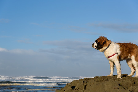 saint bernard: Saint Bernard puppy on the beach, surveying the territory