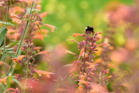 オレンジ色の蜂香油花を食べて熊蜂 写真素材