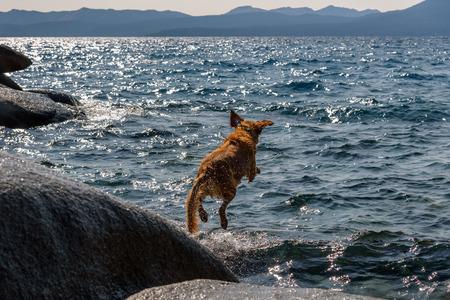 Golden retriever jumping into a lake after a stick