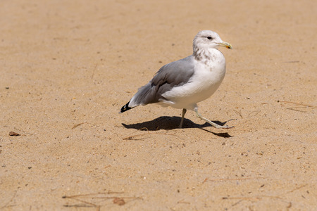 Birds on the beach, closeup of a gull walking on the beach Stock Photo