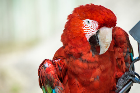 green winged macaw: Closeup of a Green Winged Macaw, headshot Stock Photo